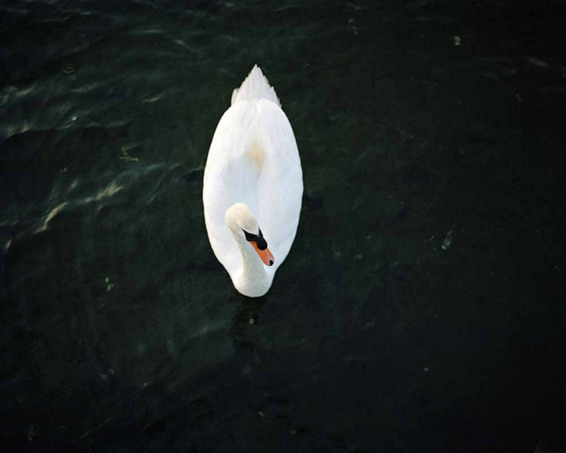 Art and Documentary Photography - Loading Swan.jpg