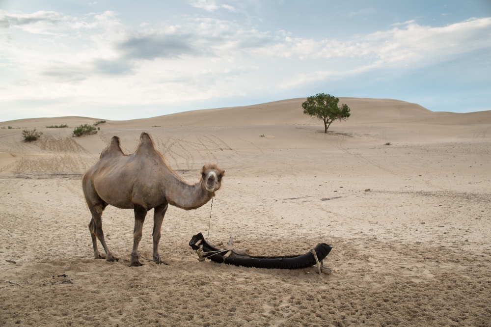 Art and Documentary Photography - Loading monastra_camel_china.jpg