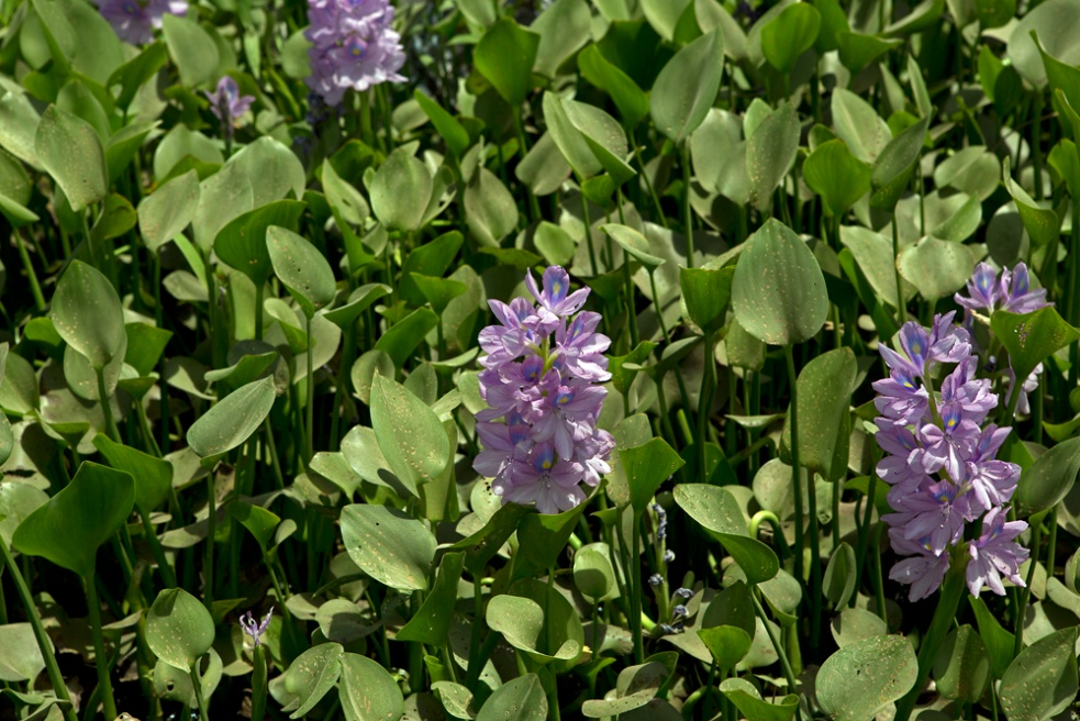 The eichornia flower is a water-weed that grows almost anywhere in the area. It is used as fertilizer.