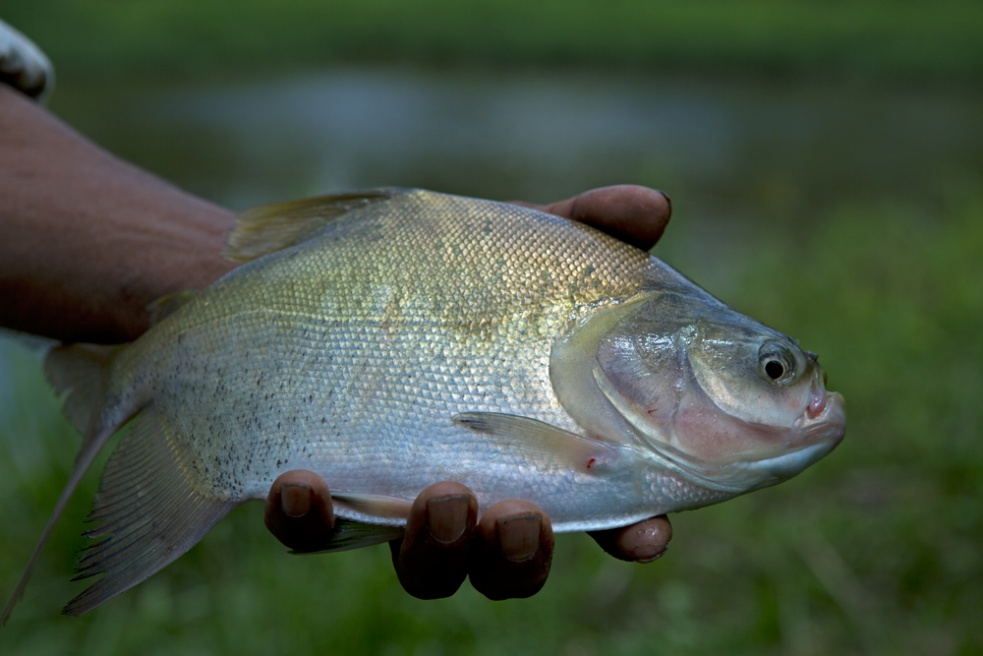 A freshly caught fish from a man-made pond deep inside the forest.