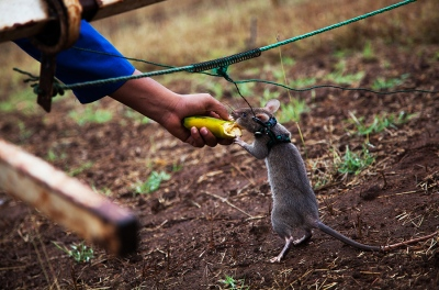 "Abraham, a ""hero rat"", eats a banana prize after correctly sniffling a landmine in Apopo's training camp in Morogoro, Tanzania."