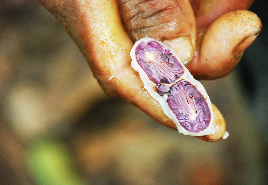 A farmer called Gaston, 60, shows a cacao seed in Tocache, Peru. The Alto Huallaga area of the Peruvian jungle has been for decades a drug traffickers and terrorist paradise. Although security in nearby areas is worsening, Tocache has improved tremendously: most farmers including Gaston used to grow coca here. Now many grow cacao.