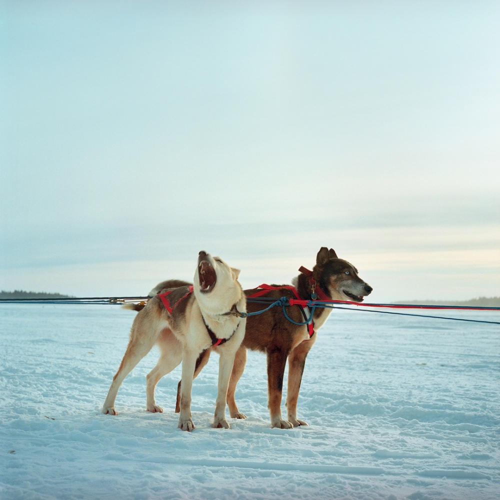 January 2012- Sled Dogs are seen before a race during the Winter Carnival in Fort Chipewyan, a First Nation community north of Fort McKay First Nation on lake Althabasca. Fort Chipewyan suffering from many downstream pollution issues from the Oil Sands.