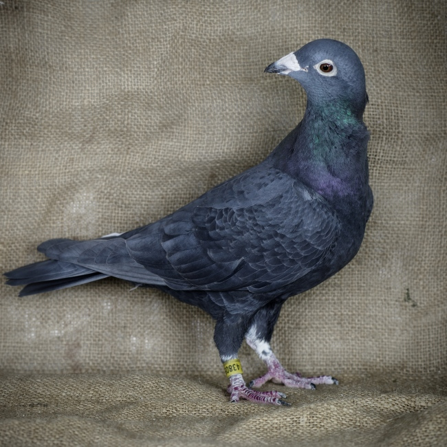 A portrait of Racing Pigeon