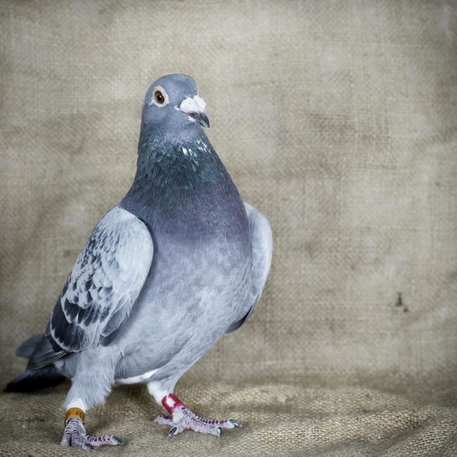 A portrait of a Racing Piggeon