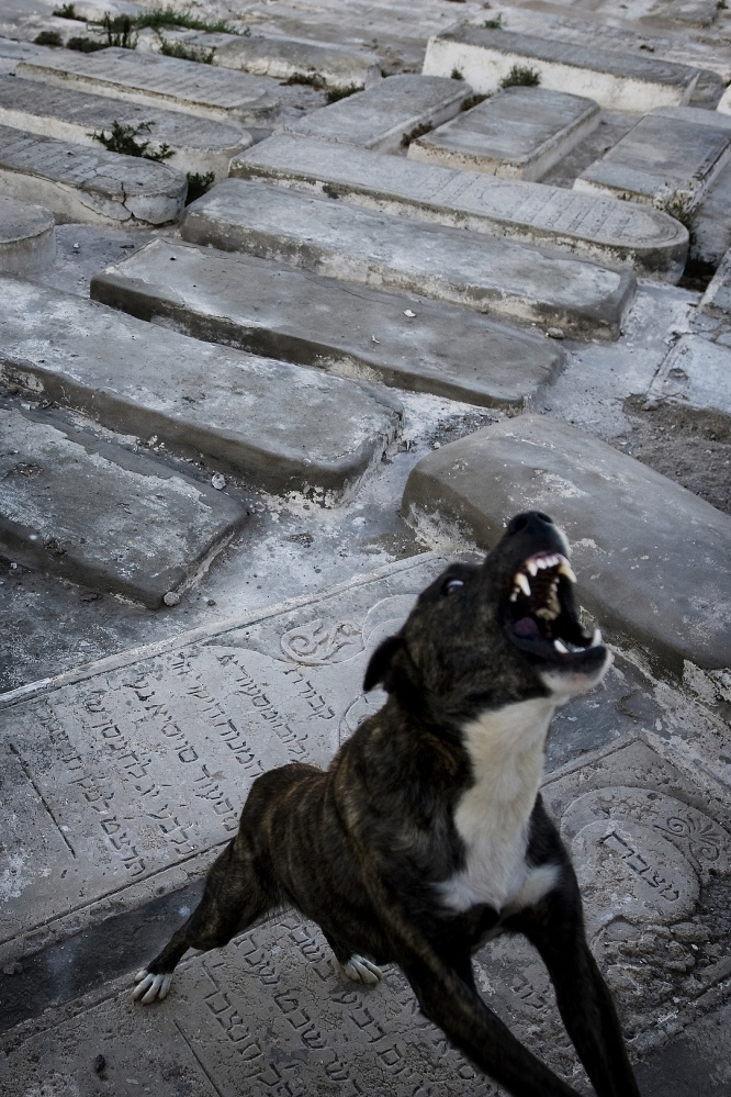2009 - A guard dog in the 400 year old Jewish Cemetery of Essaouira, home to the tomb of the Jewish Saint Rabbi Haim Pinto. His tomb is a destination for annual pilgrimages and attracts Jewish visitors from around the world.