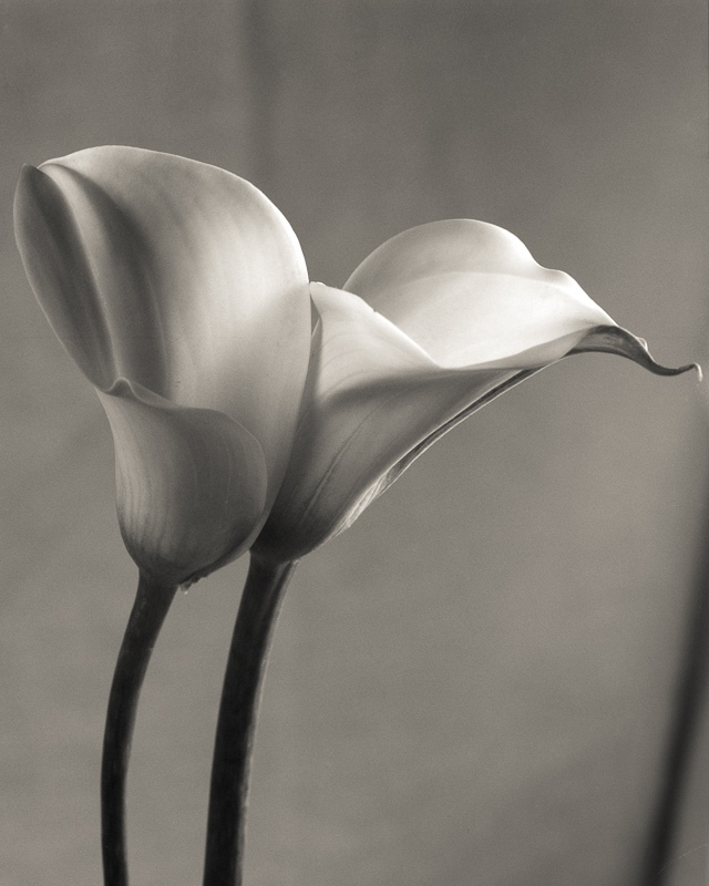 Art and Documentary Photography - Loading Calla Lily 6.jpg