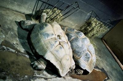 Twin turtles, Lewisberg, PA