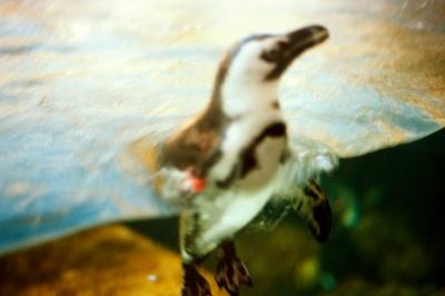 Penguin in a tank, San Francisco, CA