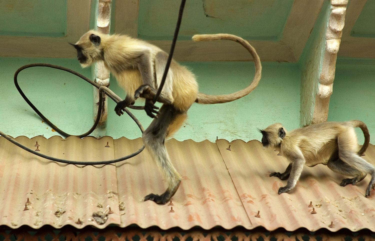 Monkies on a Hot Tin Roof