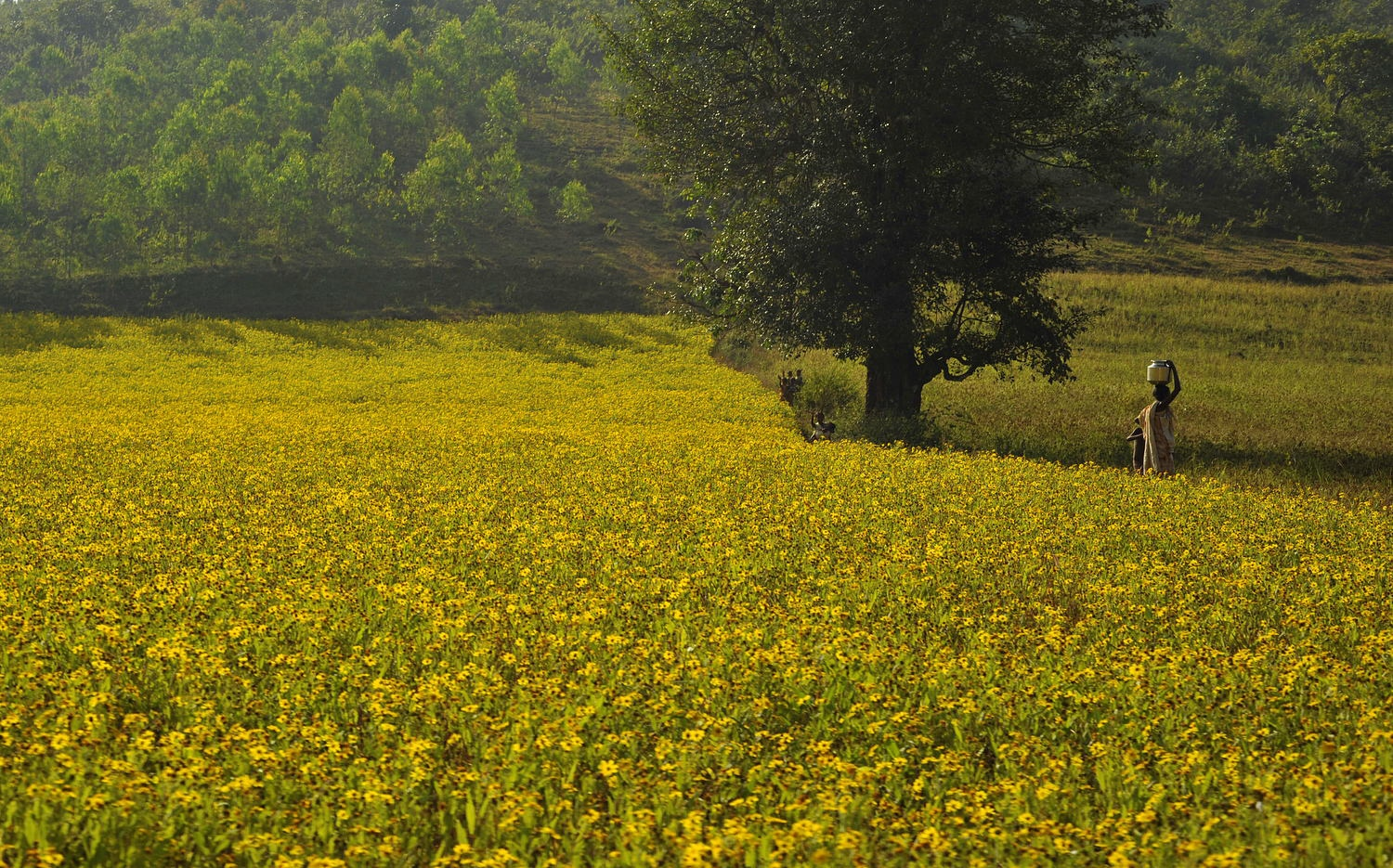 The Field in Orissa