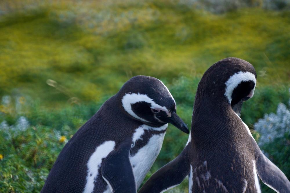 Photography image - Loading Magellenic-Penguin- 016.jpg