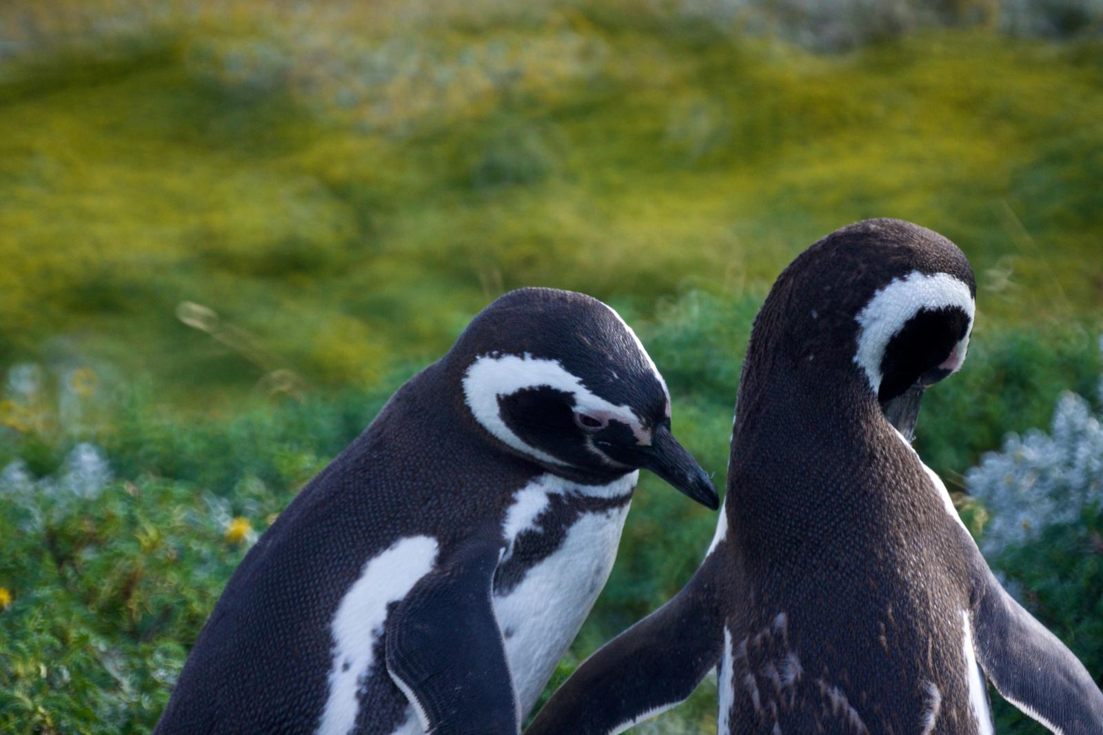 Art and Documentary Photography - Loading Magellenic-Penguin- 016.jpg