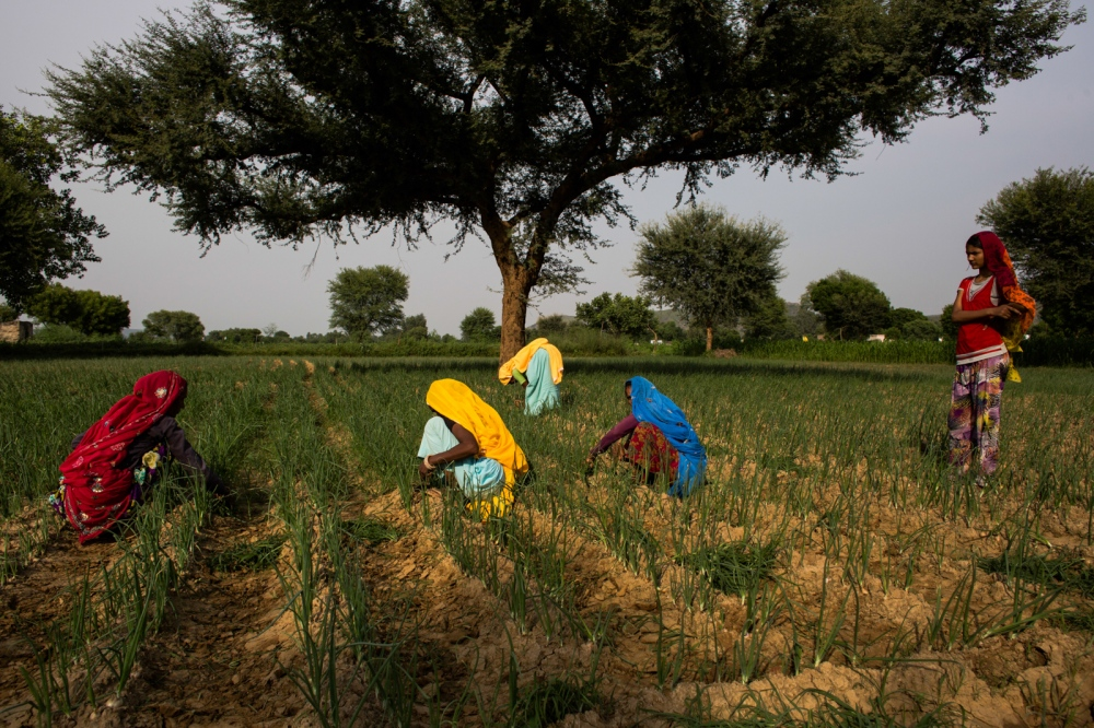 Indian farmers tend to an onion crop near Chilori village, Reni, some 55 kms from Alwar in the state of Rajasthan onAugust 28, 2014.