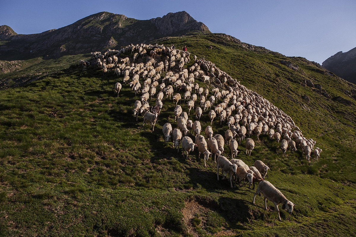Group of sheeps in the mountain of Salau, in the Catalan Pyrenees.