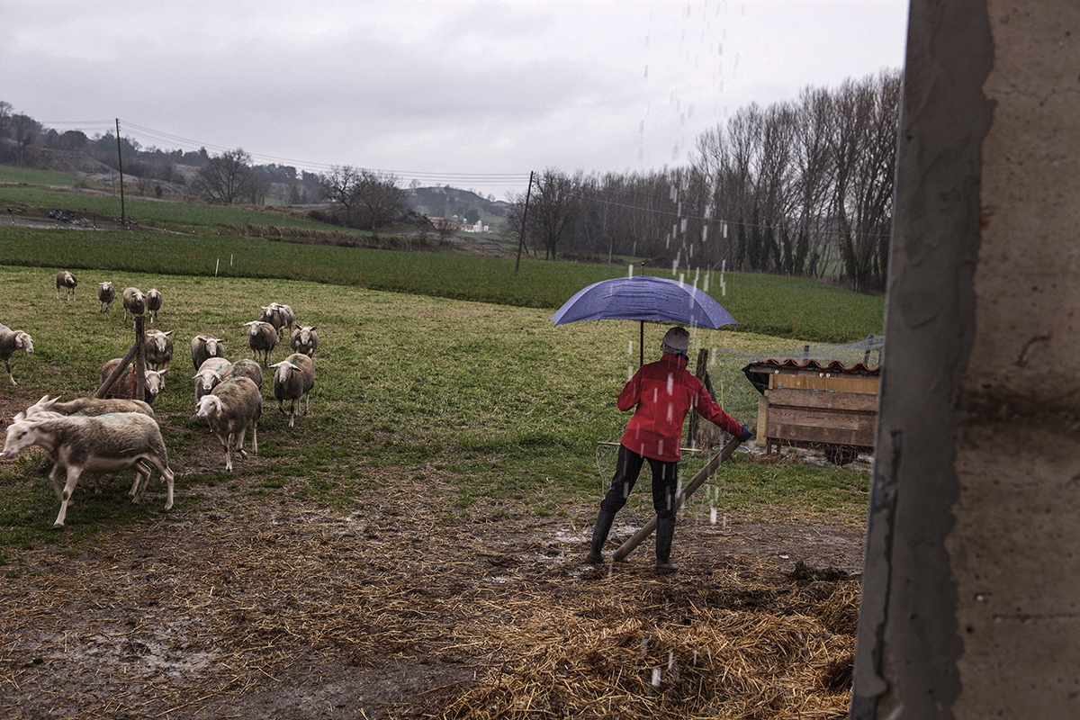 Maria gets her livestock into the corral in a rainy day. Maria works with her husband Xevi and a friend in el Serradet de Barneres, a farm of sheeps in Manlleu.