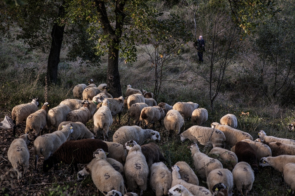 Edu Balsells takes care of his livestock. Each winter, Edu is employed by the city hall of Sant Boi de Llobregat, in the outskirts of Barcelona, for sheeps cleaning the forests, in order to prevent fire.