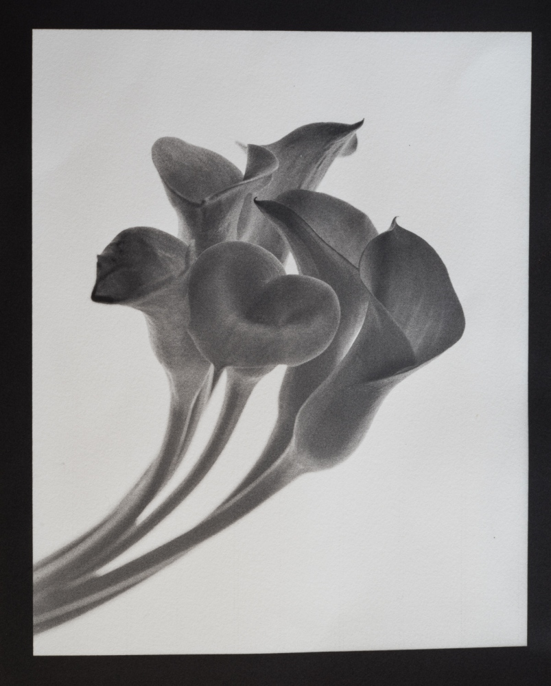 "Calla Lilies 4x5"" film; contact printed Kallitype Black developer toned with Palladium."