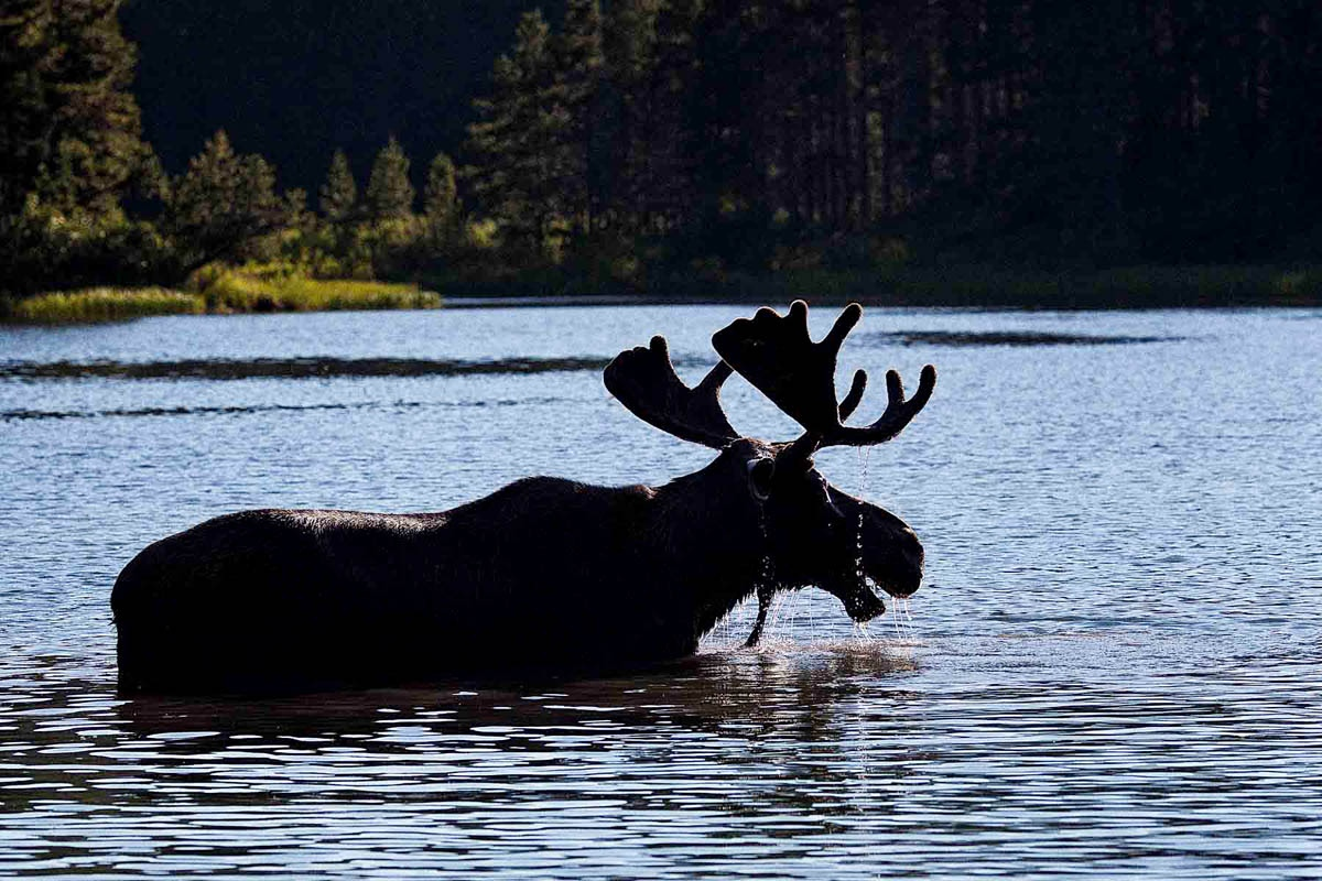 Bull Moose feeding in Fishercap Lake Glacier National Park Montana near the Many Glacier campground.
