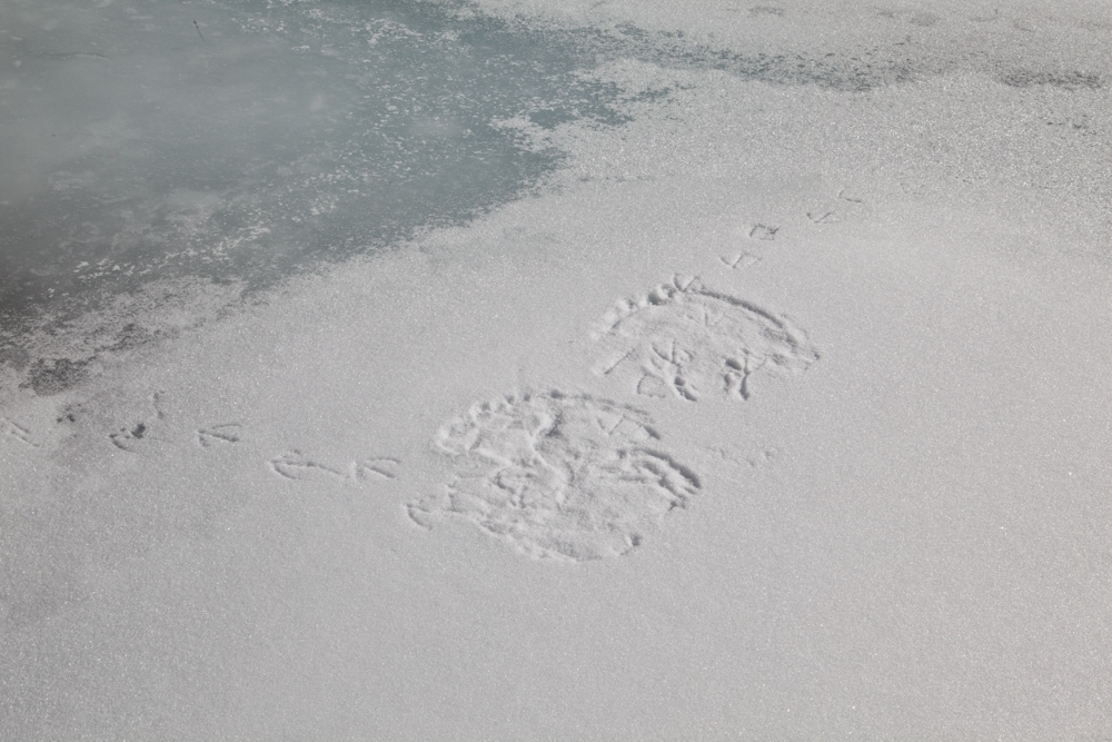 Footprints of the Antarctic Snow Petrel, tens of thousands of which made their nests the cliffsides of the Fosdick Mountains.