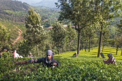 Workers cut tea leaves at the Woodlands plantation in Nilgiri, Tamil Nadu. There are nearly 1500 employees on this estate, and though it is one of the more ethical tea estates in India, it is a job that requires very difficult manual labor. Workers are in the fields six days a week from 8 am to 6pm.
