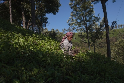 A tea plucker at the Woodlands plantation, part of Craigmore tea plantations. Craigmore employs around 1500 employees from the states of Tamil Nadu and Jaharkhand.