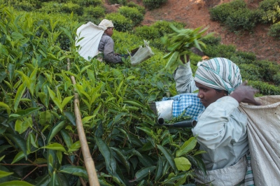 Tea pluckers work the fields at the Craigmore tea plantations located in India's Nilgiri Hills.