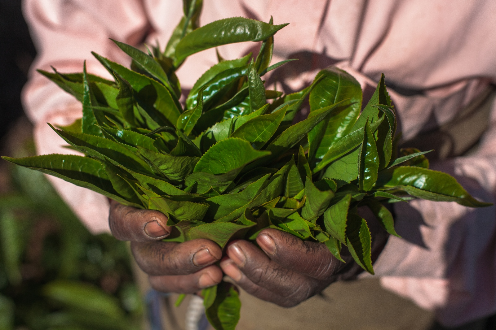 A tea plucker holds plucked tea leaves at the Craigmore tea plantations located in India's Nilgiri Hills. These leaves go into making green tea. Most of these tea leaves will be supplied to major companies such as PG Tips and Lipton.