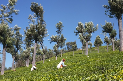 Workers cut tea leaves at the Craigmore tea plantations in Nilgiri, Tamil Nadu. There are nearly 1500 employees on this estate, and though it is one of the more ethical tea estates in India, it is a job that requires very difficult manual labor. Workers are in the fields six days a week from 8 am to 6pm.