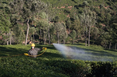 A tea plantation worker sprays tea fields with hazardous chemicals to avoid pests. Recent studies have suggested that workers on many Indian tea estates have been exposed to chemicals without proper protection.