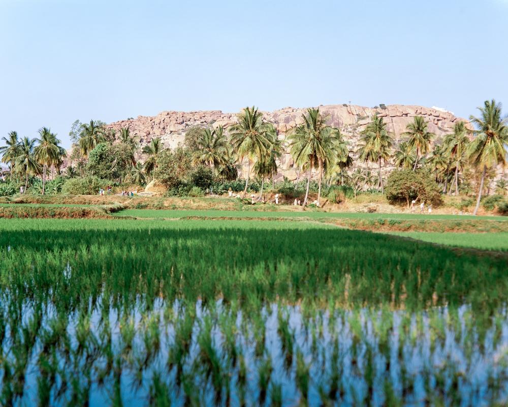 Rice paddy fields, Hanmanhalli.
