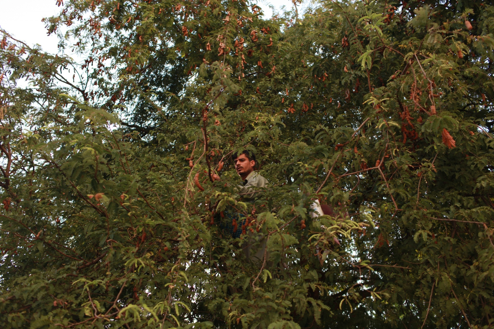 "An asylum-seeker from Pakistan, living in a low income building occupied by asylum-seekers, on the outskirts of Bangkok city, searches a tree in front of his room for a fruit called ""imli,"" which is a sweet snack that is known to cool the stomach when it's mixed with water. April 17, 2015."