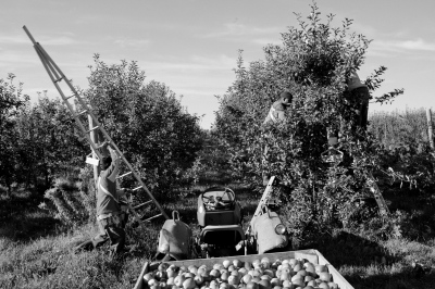 A group of Jamaican migrant farm workers harvests the apples each fall atRicker Hill Orchards in Turner, ME. 2013