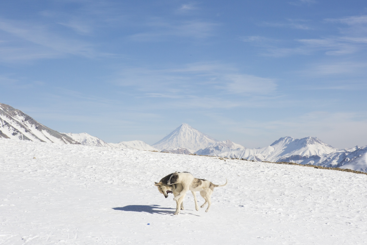 Wild dogs fight on the slopes of Darbandsar in front of Mount Damavand, the highest volcano in Asia, a national pride that takes on a prominent role in Zoroastrian mythology. Alborz Mountains, North of Tehran. January 03, 2015