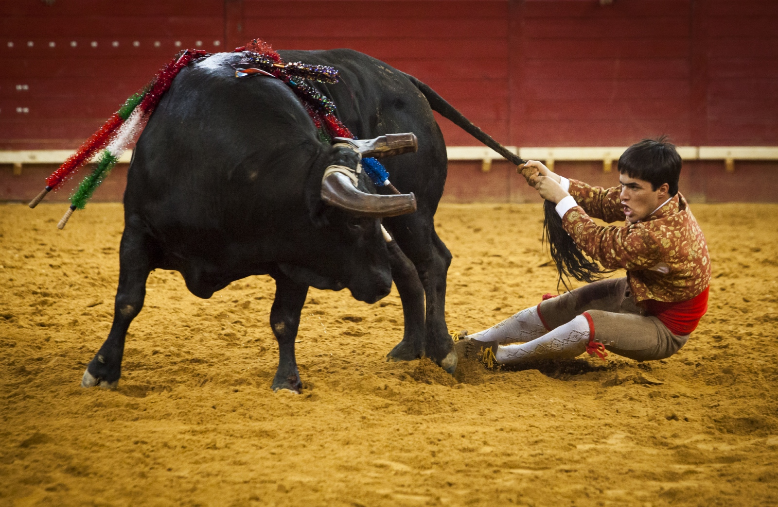 João Madeira, a member of the Forcados group of Évora, acts as the 'rabujador' pulling the tail and riding in circles with the bull. This is the third and final part of the forcados performance.