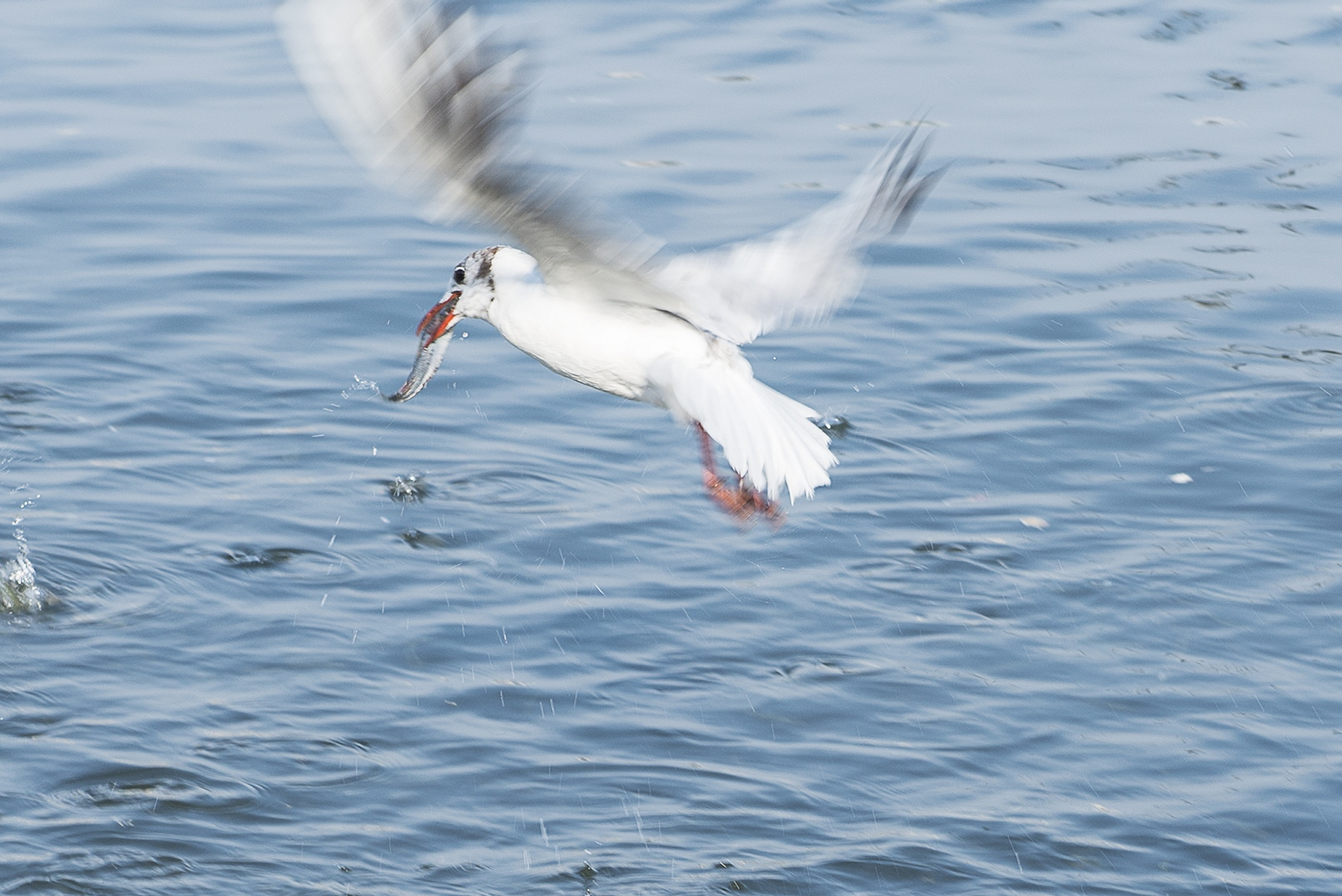 Art and Documentary Photography - Loading 11_a_fishing_seagull_reminds_the_nature_s_laws.jpg