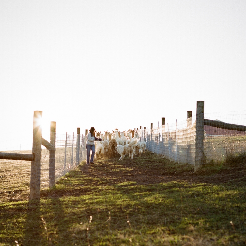 Art and Documentary Photography - Loading Alvina_alpaca_farm_Meg_Wilson-4.jpg