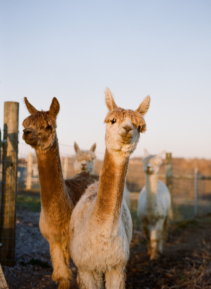 Art and Documentary Photography - Loading Alvina_alpaca_farm_Meg_Wilson-11.jpg
