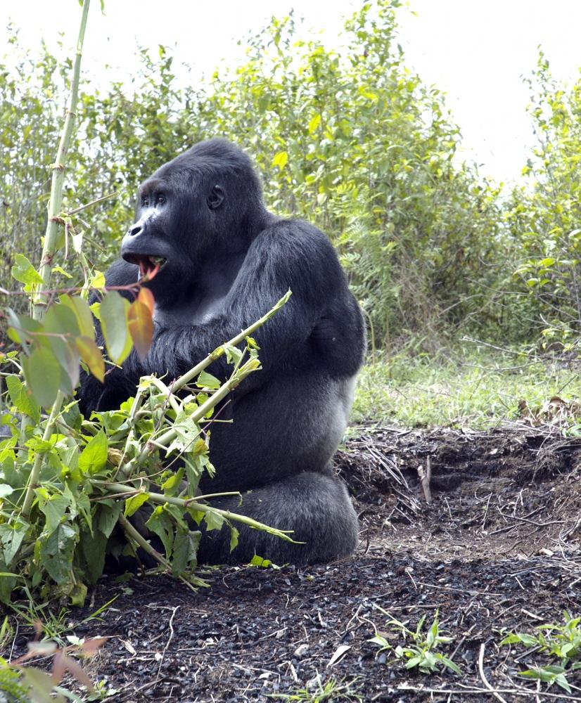 Mugaruka, Lowland Gorilla, Kahuzi Biega reserve, age 35