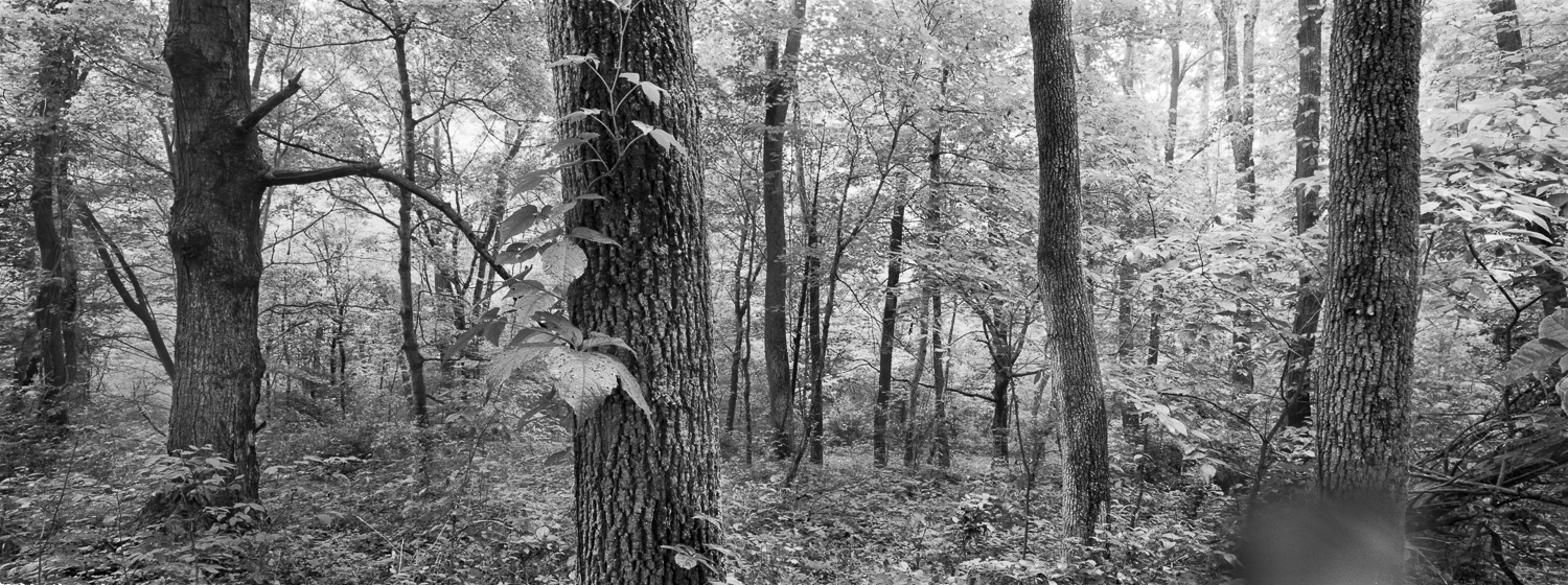 Woods Archival digital print 24 x 10 2011