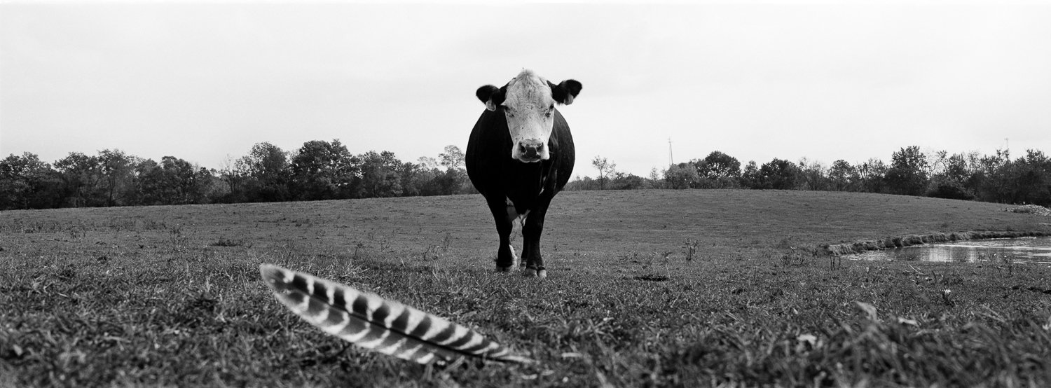 Cow with turkey feather Archival digital print 24 x 10 2009