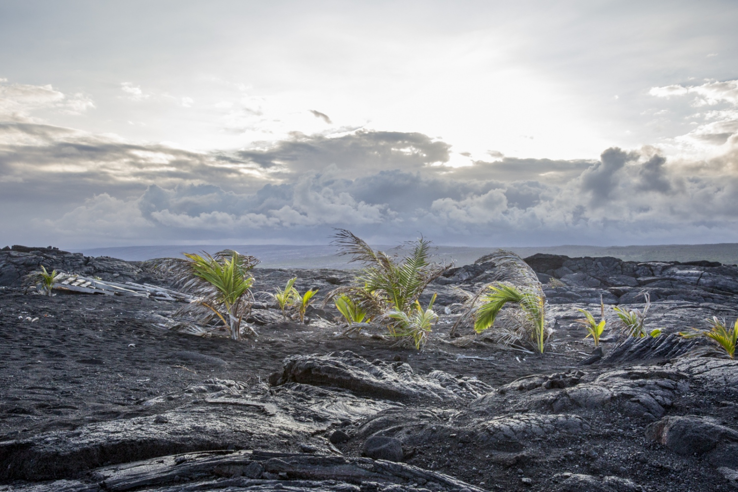 Palm trees are born out of coconuts on solidified lava, which creates a very fertile soil. Hawaii, Big Island.