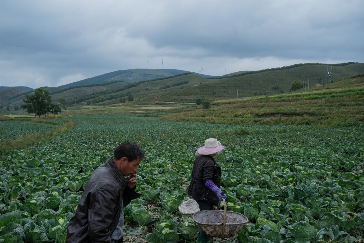 Chen Lanzhen, a villager of Taizicheng, goes into the field to harvest cabbage with the help of her brother Chen Hu on Sepetember 8, 2015. As most of the families in Taizicheng, the Chen family's major income comes from growing and selling cabbage.