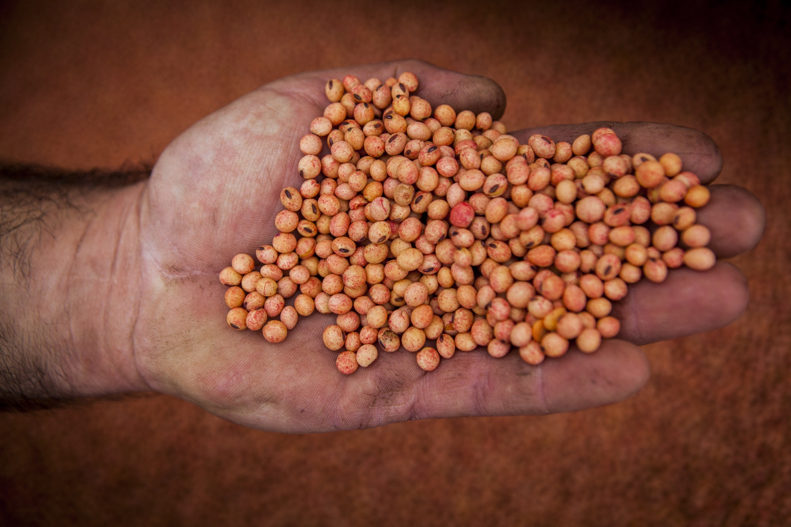 Mr. Domingos (39) holds soy seeds. This soy seeds are genetic modified and are able to resist to pesticides like glyphosate, which is used to killed all the other weeds and plants on the fields. The use of glyphosate is causing wide environmental and public health problems.