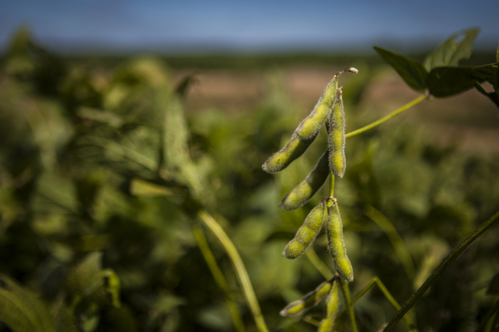 Soybeans on a field in Monte Maiz. The soybean is the part of the plant used in many different aliments for human consumption, to feed animals and even to produce bio-fuel, but it also has having a huge impact on the environment and public health of the communities where it is grown.
