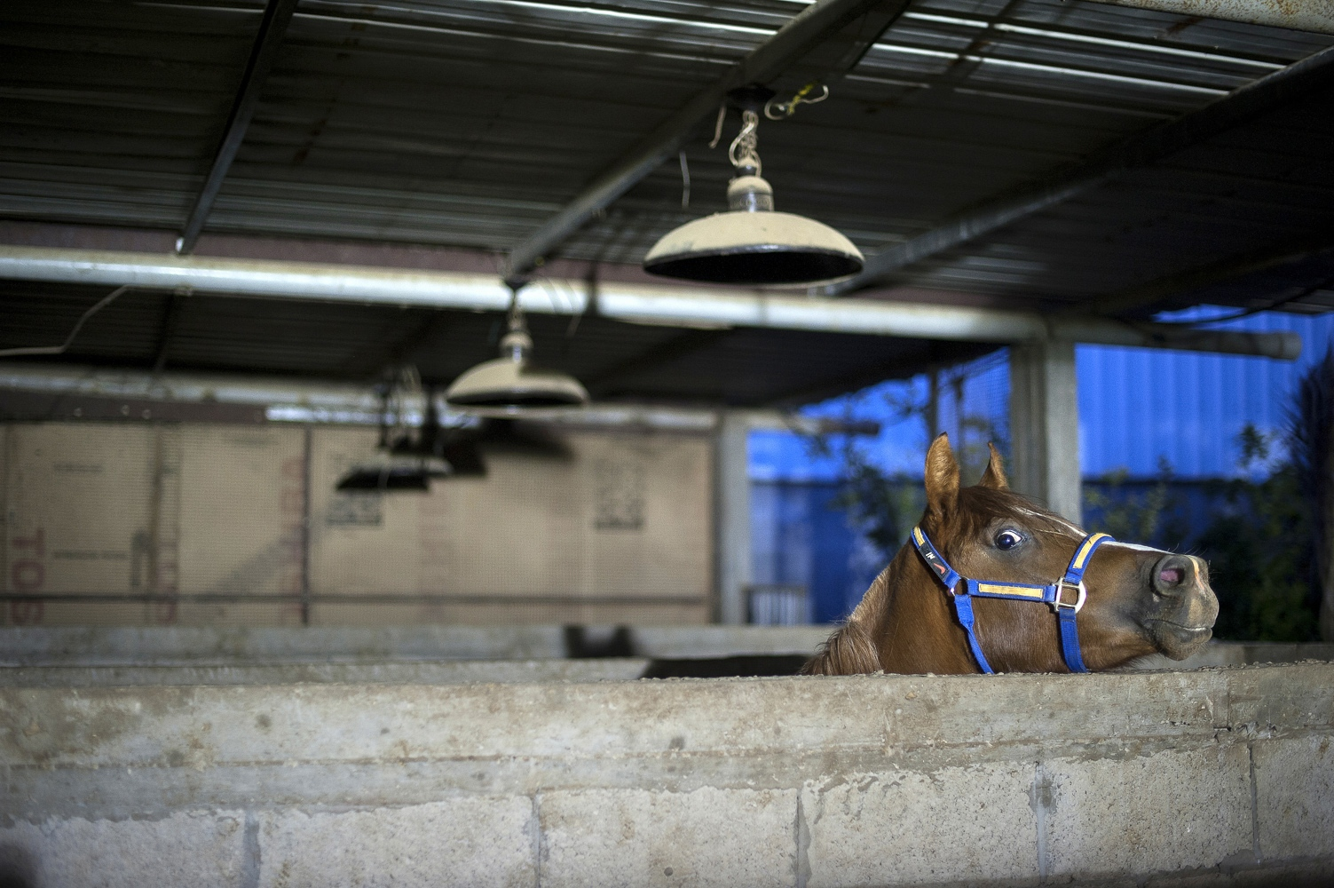 Malak a female Arabian horse at her stables in the Gaza Strip.