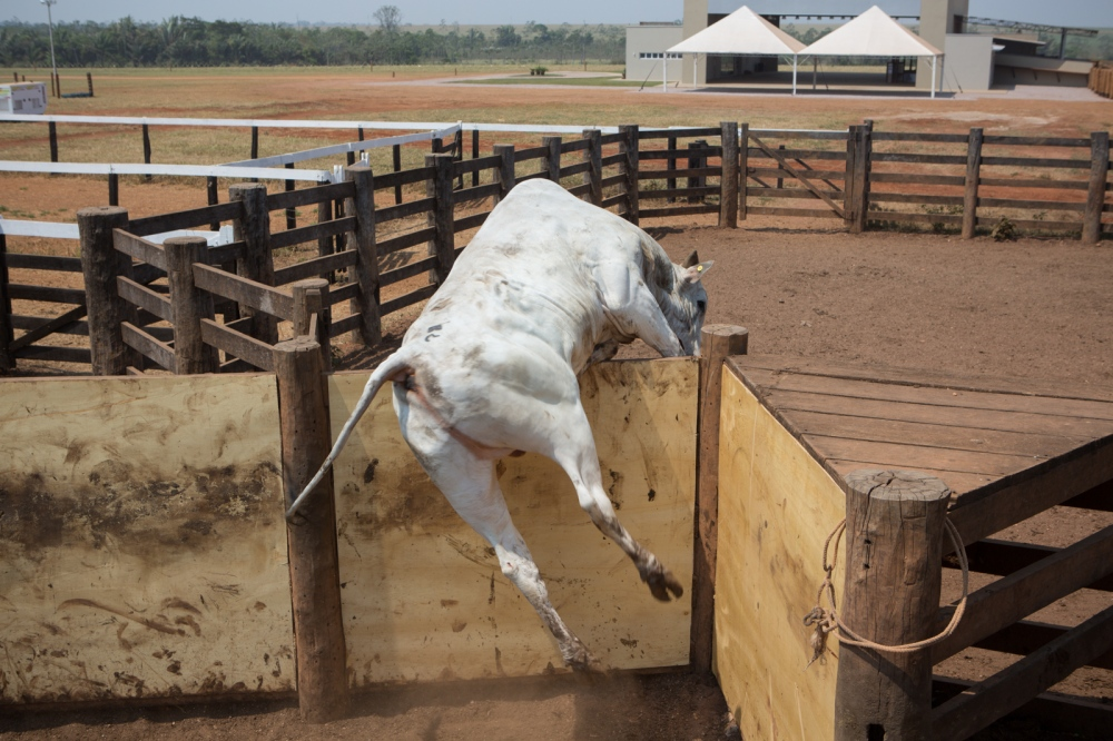 A bull jumps the fence trying to escape the truck entrance that led to the slaughterer. Pontes e Lacerda, Mato Grosso, Brazil, 2015