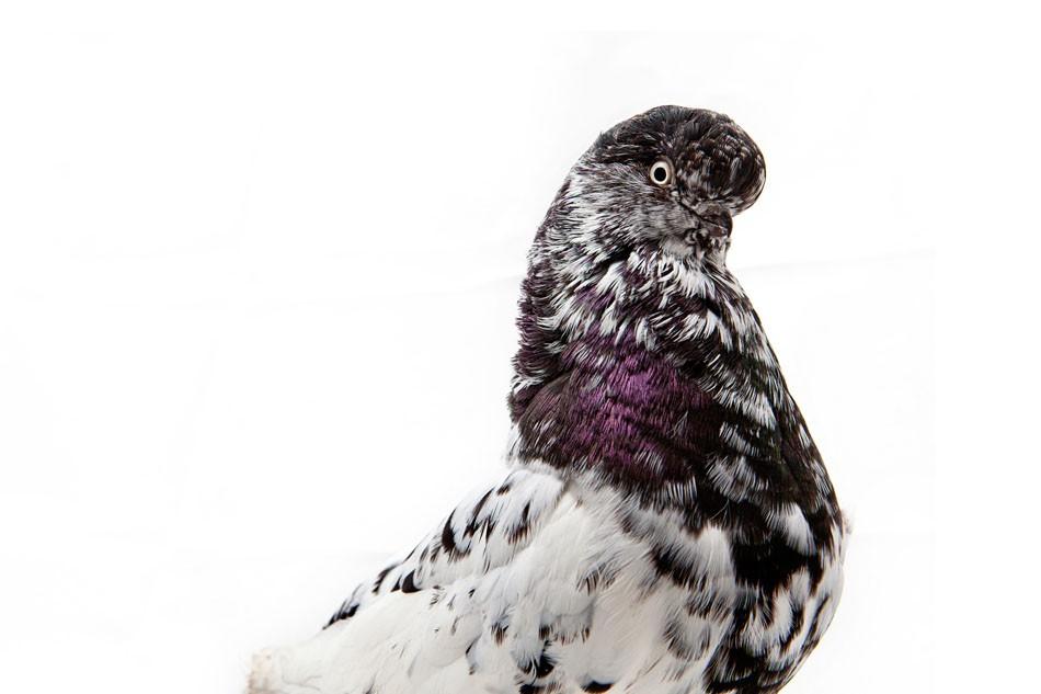 Art and Documentary Photography - Loading Pigeon_Degner_03.jpg