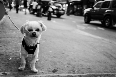 New York Dog,NYC