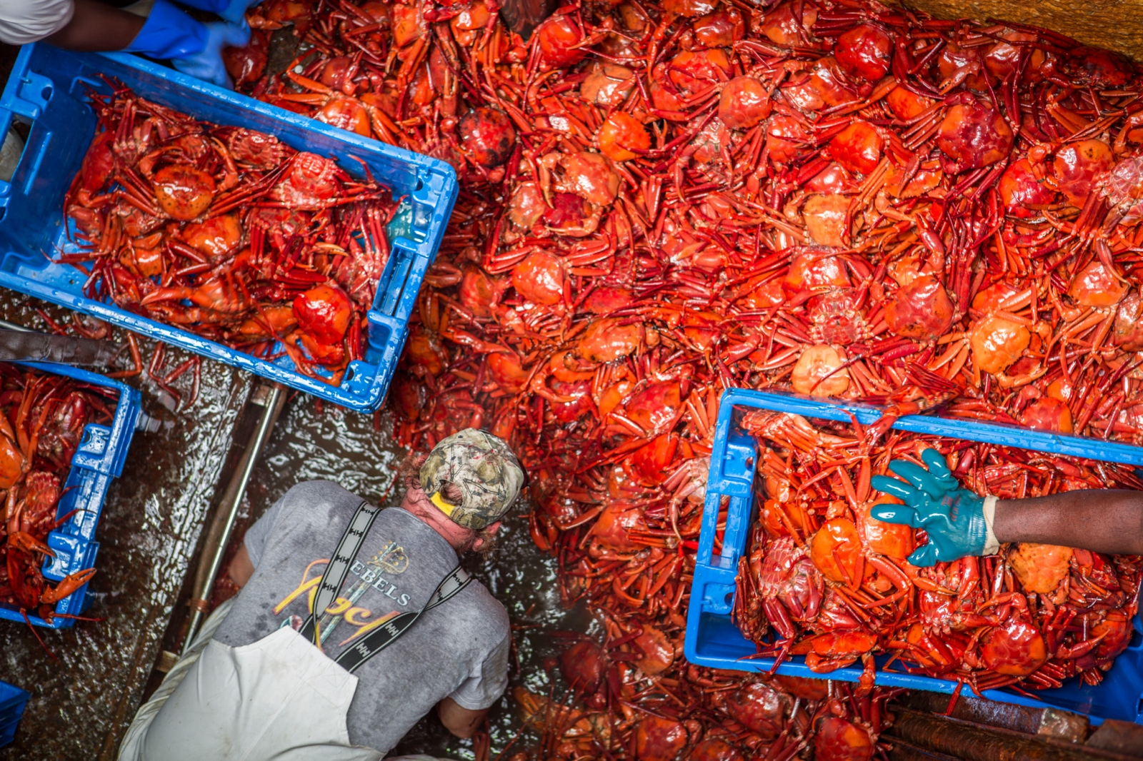 Atlantic Red Crab. From an assignment for Nature Conservancy on the economic importance and cultural depth of fisheries on the mid-Atlantic coast, USA.